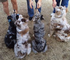 Beautiful coats.... Love those Aussies