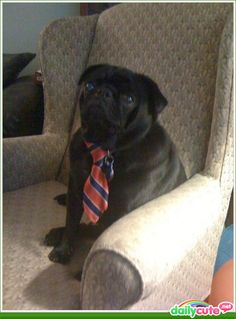 I think pugs are the cutest dogs ever! <3