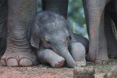 Tired baby elephant napping in the shade of mom's tree-trunk kegs. Asian Elephant, Elephant Love, Baby Elephant Pictures, Elephant Gifts, Beautiful Creatures, Animals Beautiful, Save The Elephants, Baby Elephants, Elephants Photos