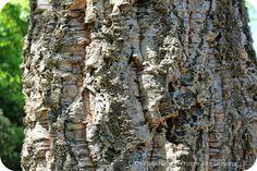Bark of the cork oak tree