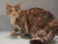 LILYAH - 19032 - - Manhattan  *** TO BE DESTROYED 01/27/18 *** Confused two year old, LILYAH dumped for move to un-petfriendly home. She lived with a 5 and 7 year old and another cat that she ignored. She's got a lot of energy and loves wand toys so all she needs is some directed play! Please give LILYAH a chance tonight!! -  Click for info & Current Status: http://nyccats.urgentpodr.org/lilyah-19032/