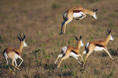 What's the difference between the Thomson gazelle and the Springbok? What's the difference between the Thomson gazelle and the Springbok? Wildlife Photography Tips, Animal Photography, African Animals, African Safari, Animal Action, Deer Family, Out Of Africa, Kruger National Park, Beaches In The World