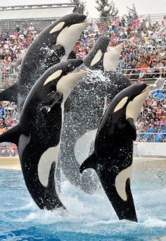Four of SeaWorld' San Diego's killer whales (Orcas) leap out of the water - Sea World San Diego Theme Park Southern California Orlando Florida, Seaworld Orlando, Orcas Seaworld, San Diego Travel, San Diego Beach, Delphine, California Dreamin', Killer Whales, Sea World