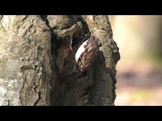 Eurasian Treecreeper or Common Treecreeper (Certhia familiaris) / Waldbaumläufer [08] - YouTube