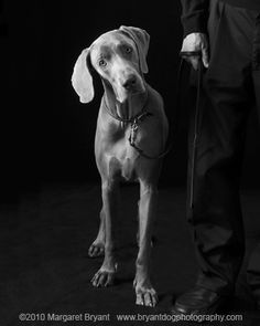 Weimaraner....yup, mine tilts his head every time I talk to him