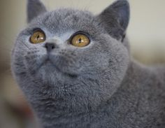 Blue british shorthair cat - so fluffy and beautiful. They also looks crabby most of the time... kinda like me! LOL