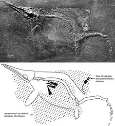 Evidence in relation to prehistoric animal carcases exploding as they rotted. Exploding dinosaurs and marine reptiles?