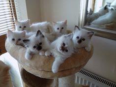 Birman Cat Breed Profile - UK Cat Breeders