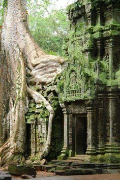 Tree growing over a temple at Angkor Wat, always reap, Northwest of Cambodia.