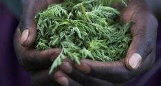 """Amazing Herb Kills Of Cancer Cells In Just 16 Hours - artemisinin, a """"Sweet wormwood"""" or """"Artemisia Annua"""" - used in Chinese medicine as an antimalarial for ages Cancer Fighting Foods, Cancer Cure, Cancer Cells, Lung Cancer, Natural Medicine, Herbal Medicine, Chinese Medicine, Chinese Herbs, Vitamine B17"""