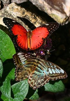A blue-phase clipper hangs out with a red (orange) lacewing