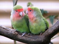 love birds | Beyond the Blue Domes: Lovely Pictures of Love Birds