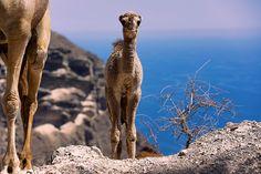 A camel with baby camel West of Salalah, Oman.
