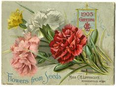 """The back cover of Carrie Lippincott's 1905 catalog features carnations and a banner with Miss Carrie H. Lippincott's initials and the date.  Carrie Lippincott, the self-proclaimed """"pioneer seedswoman"""" and """"first woman in the flower seed industry"""" established her mail-order flower seed business in Minneapolis in 1891. Sending out smaller 5 inch by 7 inch catalogs with colorful covers her business was aimed at women customers."""