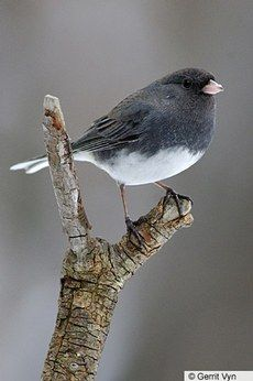 We moved to an apartment....i miss filling up the bird feeder....seeing the sparrows and squirrels fighting for a corner...and the juncos are reaping the benefits on the snowy white ground. Love these little birds. Dark-eyed Junco — Birds of North America Online