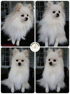 Pia, Pomeranian, 1 year young. Bath and Blow Dry Service. Website: https://rattytoregal.wixsite.com/rattytoregal Facebook: https://www.facebook.com/rattytoregal/