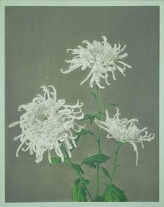 Some Japanese Flowers, c1895, Kazumasa Ogawa, 15 Chromo-Collotype Plates