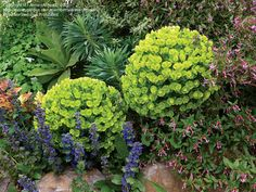 Do you love the big, wondrous chartreuse flower heads of Euphorbia characias but it grows just too big for your small garden? This amenable dwarf form grows to only 2.5' high & wide.