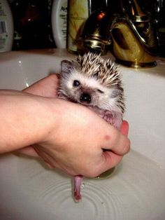Tiny hedgehog taking a bath in the sink! It looks like she's winking!