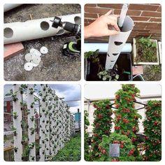 petite astuce pour cultiver beaucoup de fraisiers quand on. Black Bedroom Furniture Sets. Home Design Ideas