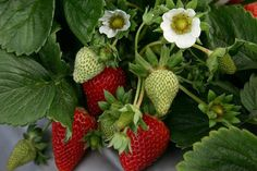 Save Cash Living From Paycheck to Paycheck Yes,saving money is difficult when you live from paycheck to paycheck. Strawberry Plants, Cooking Tips, Diy And Crafts, Fruit, Flowers, Tumblr, Gardening, Children, Bricolage
