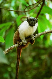 Pied Tamarin Saguinus bicolor - aka bare-faced tamarin, an endangered primate species found in a restricted area in the Brazilian Amazon Rainforest. (classified as Critically Endangered (CR) by the IUCN Red List)