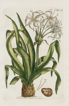 1768 Philip Miller Gardens Dictionary Botanical Prints Crinum foliis carinatis