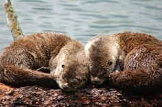 cuddling otters | Otters Curl Up Together to Nap in the Sun | The Daily Otter