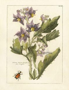 Nederlandsch Bloemwerk Botanical Prints 1794 -  Solanum Indicum spinosum flore Boraginis
