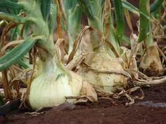 Секрет небывалого урожая: выращиваем лук китайским способом!