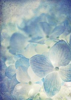 I love blue hydrangea