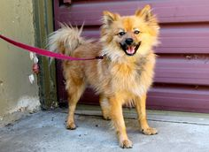 Meet Buddy, an adopted Pomeranian Dog, from Bark n' Bitches - Jimi's Angels in Los Angeles, CA on Petfinder. Learn more about Buddy today. Cute Baby Animals, Animals And Pets, Los Angeles Area, Animal Welfare, Little Dogs, Pomeranian, Four Legged, Doge, Small Dogs
