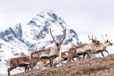 English photographer Tim Plowden gets the attention of one of a herd of barren-ground cari...