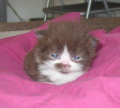 Sweetharmony's My Cry Baby, born 15th January 2003, Persian chocolate-white