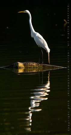 Great Egret in Sunset Bay - Photograph Copyright 2010 by J R Compton. All Rights Reserved. No Reproduction in Any Medium Without Specific Written Permission.