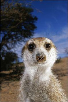Erdmännchen Poster von Mattias Klum / National Geographic