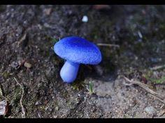Miniature Polymer Clay Mushroom Tutorial, Covtinarius Violaceus  Excellent results using this tutorial
