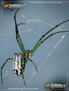 Venusta Orchard Spider Pictures Gallery