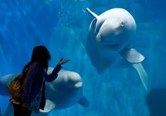 A visitor throws a kiss to a Beluga Whale, swimming inside an aquarium at the Laohutan Ocean Park in Dalian, in northeast China's Liaoning province, Sept. 17, 2011. (Andy Wong/Associated Press)
