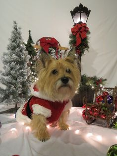 "Happy Holidays...A Cairn Terrier Christmas. Hope your doing well!! From your friends at Scottsdale dog training""k9katelynn""! Please see More about phoenix dog training at k9katelynn.com! Pinterest with over 21,200 followers! Google plus with over 280,000 views! LinkedIn with over 9800 associates!! Proudly serving the valley for over 11-1/2 years! Now on instant-gram ! K9katelynn"