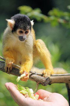 Squirrel Monkey!!!! Kinda want one.