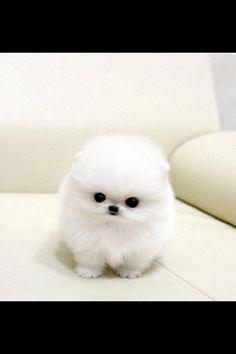 Teacup puppy!!
