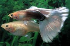 Types of guppies - there are several types of guppy fish that you can make as a pet. In addition to the beautiful color, guppy fish care is not too difficul Aquarium Algae, Tropical Aquarium, Saltwater Aquarium, Tropical Fish, Tropical Freshwater Fish, Freshwater Aquarium Fish, Community Fish Tank, Cool Fish, Paludarium