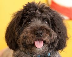 Schnoodle--this looks so cute!!