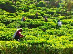Sri Lanka - Mackwoods tea plantation