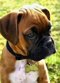 Adorable English Boxer Dog