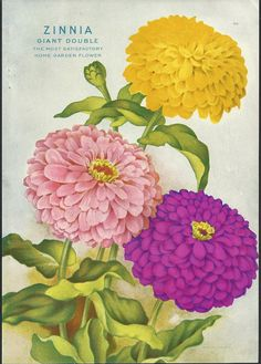 Zinnia Antique Seed Catalog Print  Ferry by SkippiDiddlePaper, $12.00