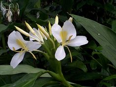 Hedychium coronarium by Wilder - Hedychium coronarium - Wikipedia, the free encyclopedia