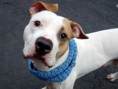 ♦ KILLED 11-3-2015 ♦ DOUBLE (A1055914) *TO BE DESTROYED – NEW HOPE ONLY* Male pit bull ter. mix, 1 year old ♥ Double is awesome looking boy with a tail that never stops wagging. Found with his friend MOCHA (SAFE > http://dogarchives.urgentpodr.org/mocha-a1055915/) when the owner moved and left them behind. Double comes when called & gives great hugs. SWEET, AFFECTIONATE & HAPPY TO MAKE NEW FRIENDS, DOUBLE IS DREAMING TO FIND A FOREVER HOME ♥ http://dogarchives.urgentpodr.org/double-a1055914/