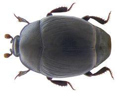 Family: Histeridae Size: 2.5-4 mm Origin: Europe Ecology: in bird nests, on carrion and rotting plants Location: Germany, Bavaria, Upper Franconia, Schwarzenbach am Wald leg.det. U.Schmidt, 26.VI.2002 Photo: U.Schmidt, 2008
